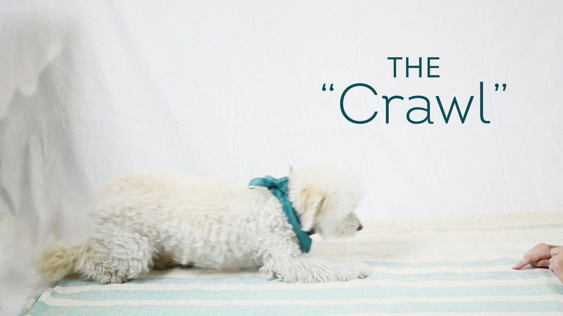 Once your dog has mastered basics like sit shake and lie