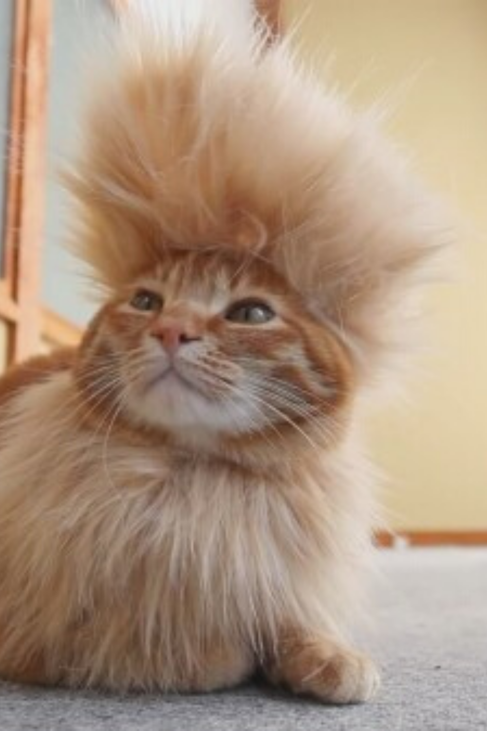 20 Cats With Hilarious Hair Styles In 2020 Cats Cat Haircut Cute Cats