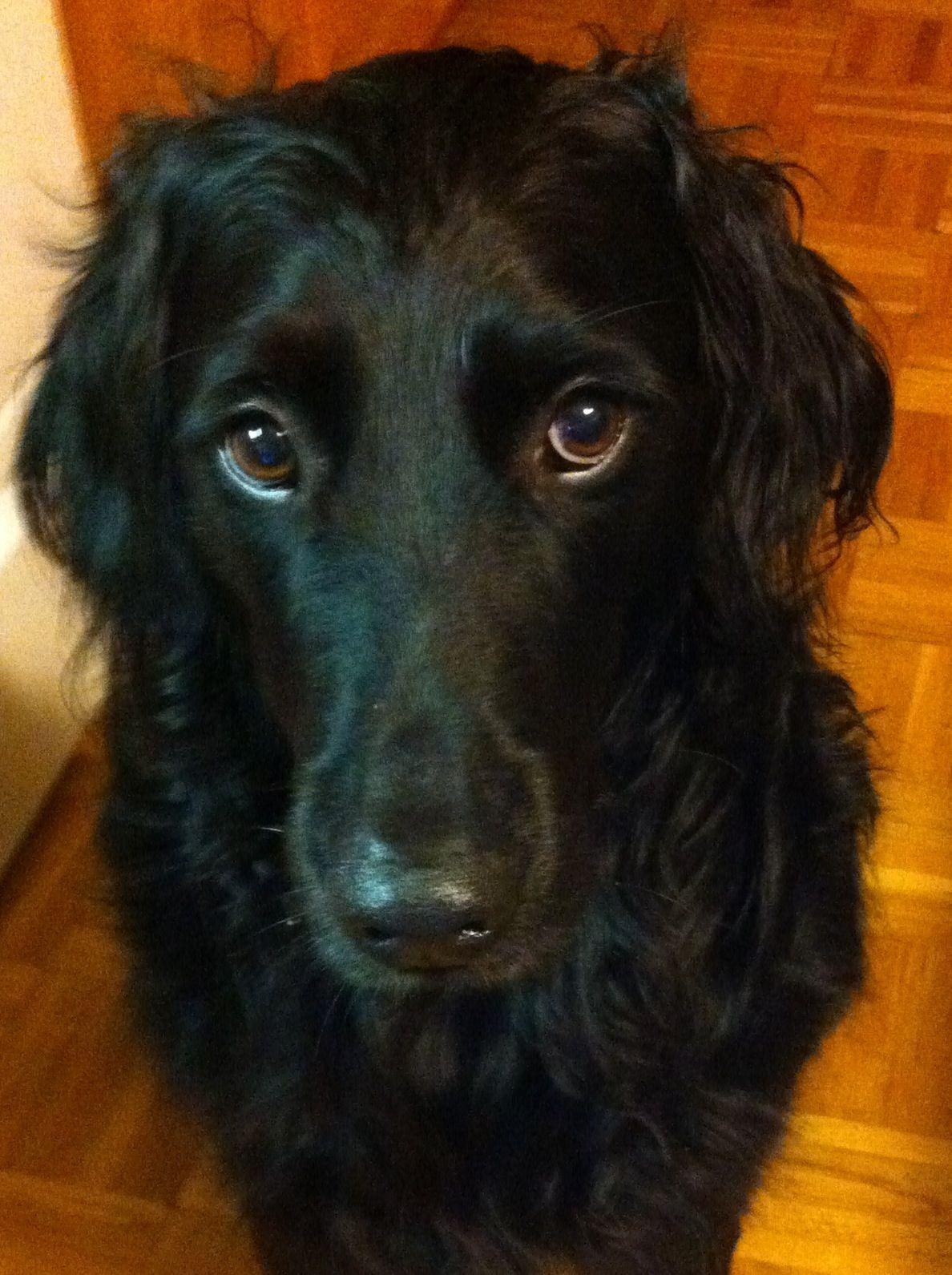 Big Flat Coated Retriever Beautiful Dogs Dog Rules
