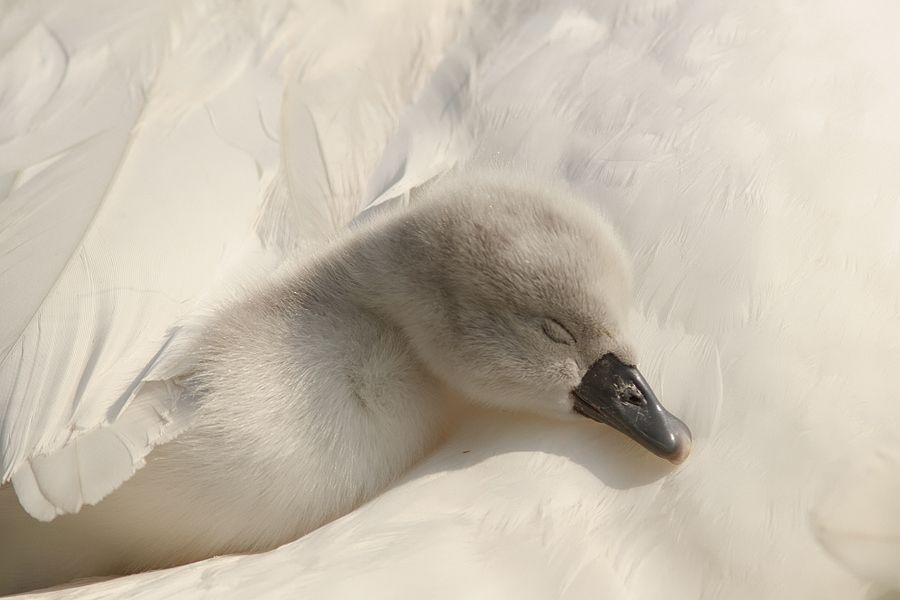 Under Mother's Wings by Roeselien Raimond, via 500px  - baby cygnet  this is precious