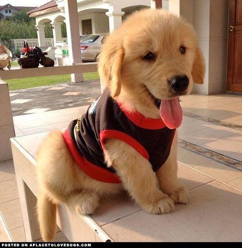 7 Best Dog Breeds For Your Golden Years The Pet S Planet Cute Animals Retriever Puppy Golden Retriever Puppy