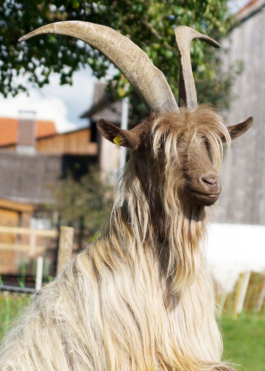 Switzerland Goat Horns Fur Hair Rarely switzerland