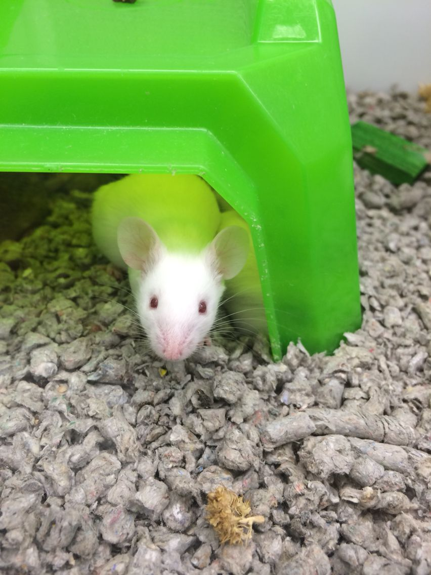 Hamsters For Sale At Petsmart Near Me