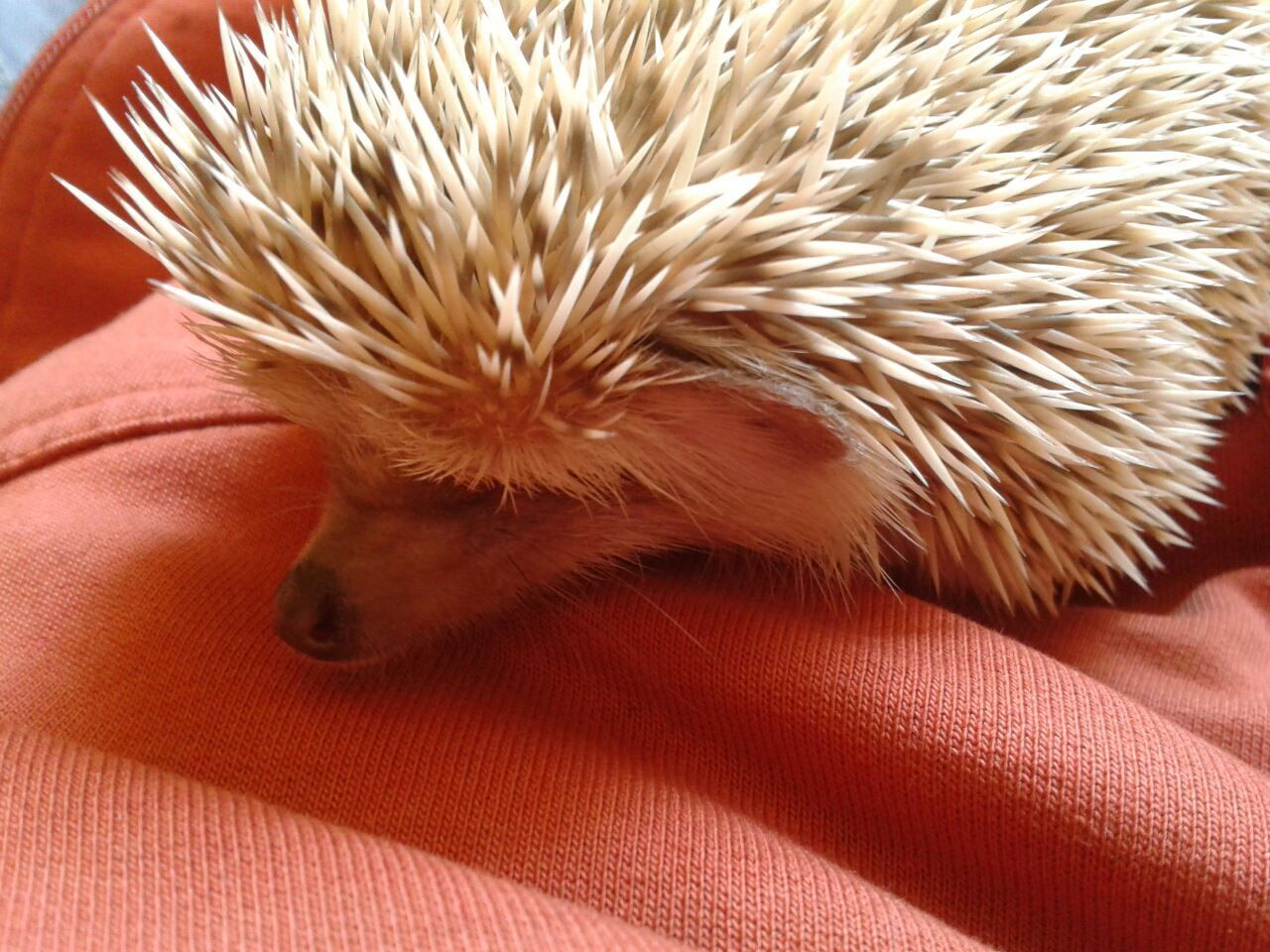 From Francisco In Mexico That S My Little Hedgehog His Name Is Otto And We Live In Mexico Herisson