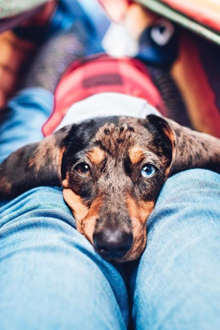 Everything You Need To Know About A Dachshund Dachshund Dogs Cutepuppies Dachshund Puppies Dachshund Hound Dog Breeds