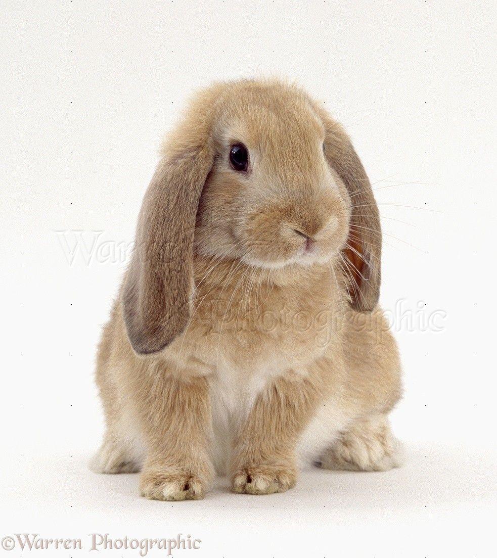 Dwarf Lop Bunnies For Sale Dwarf Bunnies Pet Bunny Cute Baby Bunnies