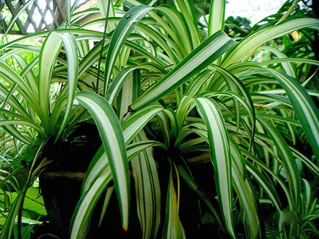 chlorophytum comosum la plante araign e est une plante d 39 int rieur gracieuse dont le feuillage. Black Bedroom Furniture Sets. Home Design Ideas
