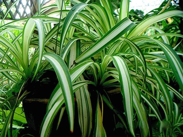 Chlorophytum comosum la plante araign e est une plante d - Plante verte d interieur facile d entretien ...