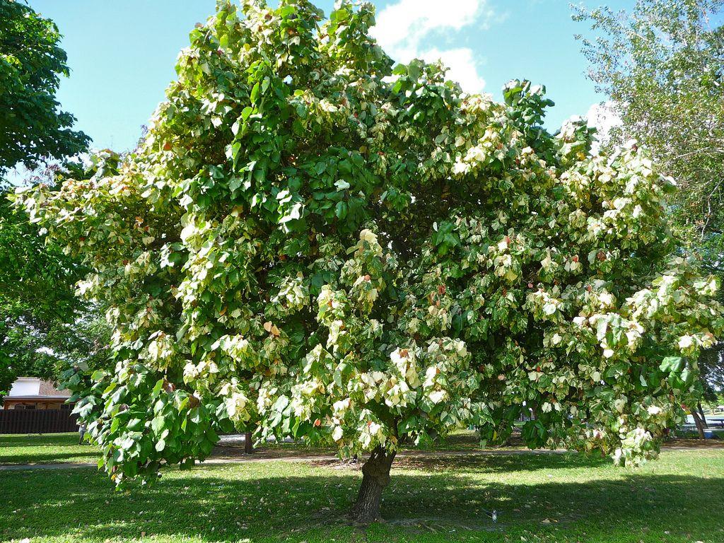 Hibiscus Tiliaceus Sea Hibiscus Family Malvaceae Florida Native