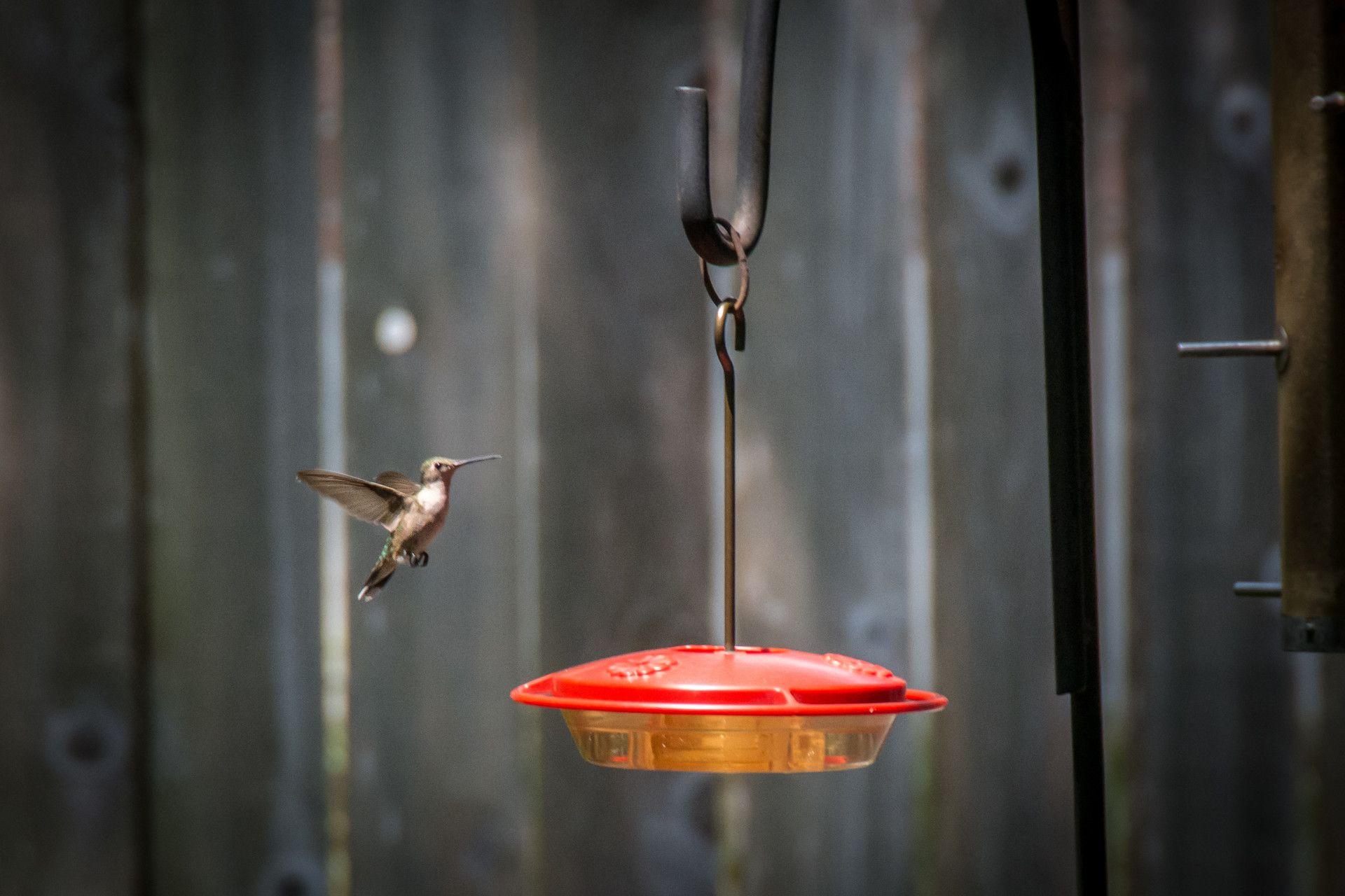 Best Place to Hang a Hummingbird Feeder Humming bird