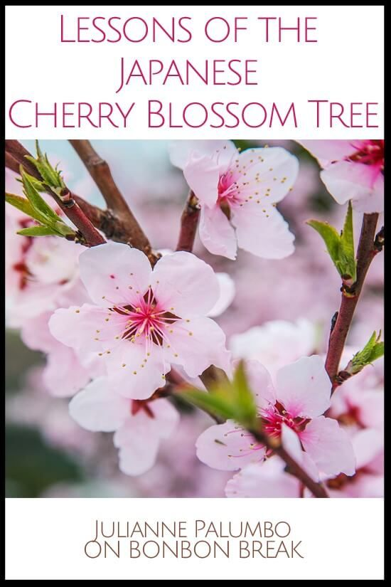 Lessons Of The Japanese Cherry Blossom Japanese Cherry Blossom Cherry Blossom Japanese Cherry Tree
