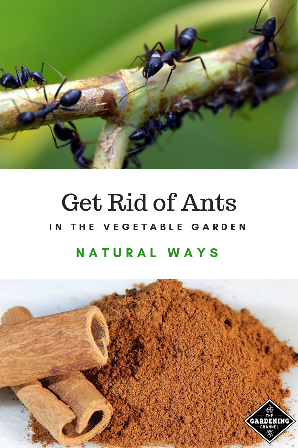 Follow These Tips To Get Rid Of Ants In Your Vegetable Garden Try These Natural Solutions To Keep Ants Out Of You Garden Pests Garden Pest Control Rid Of Ants