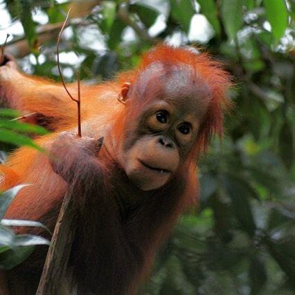 """Orangutan Foundation on Instagram: """"We teach orphaned ..."""