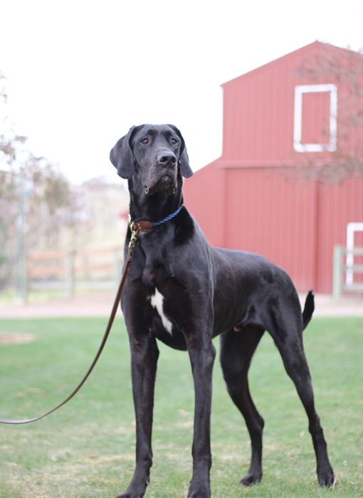 Pin By Painted Spooks On Dogs Great Dane Rescue Great Dane