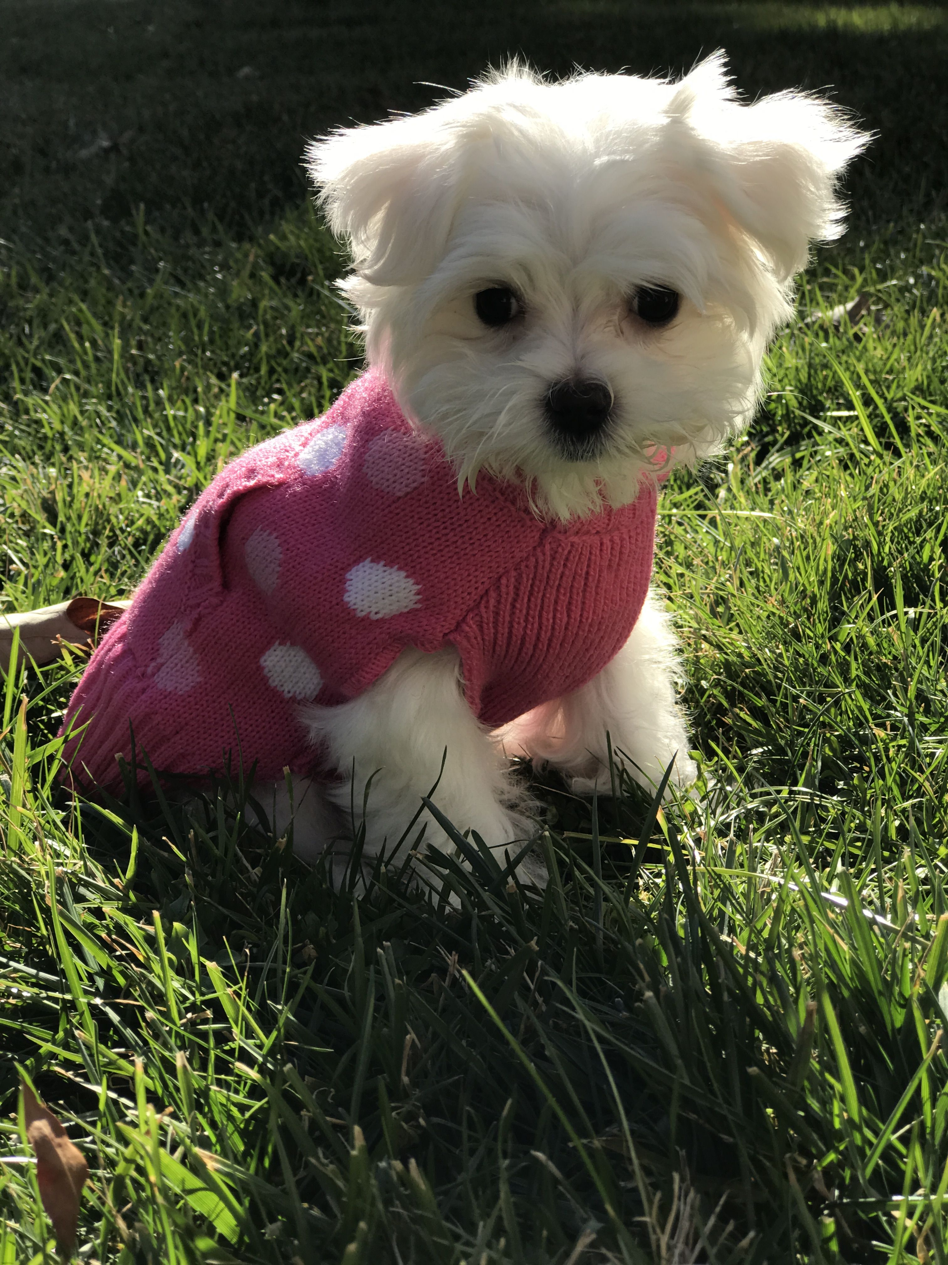 Sweet Baby Girl Maltese Puppy Maltese Puppy Teacup Puppies