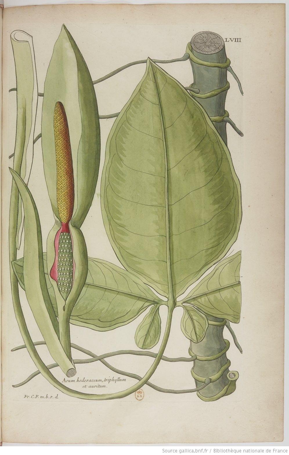 Description Des Plantes De L Amérique Avec Leurs Figures