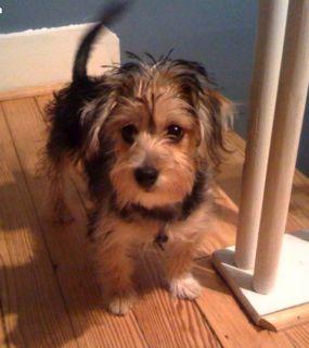 Havashire Puppies For Sale Havanese Yorkie Mix Breed Yorkie Mix