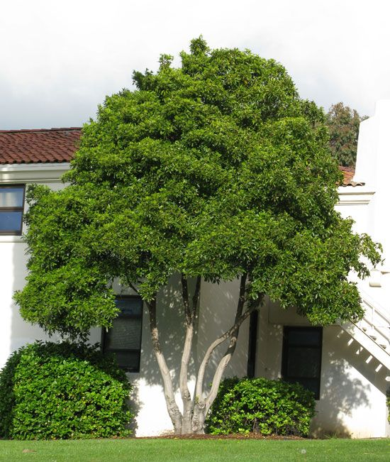 Victorian box tree pittosporum undulatum backyard for Victorian garden trees