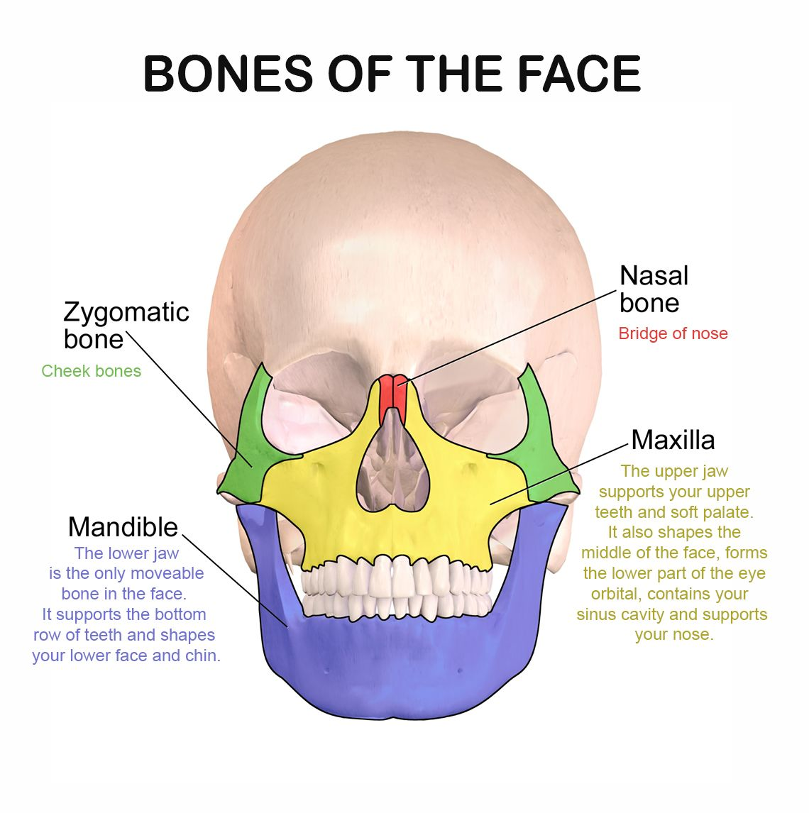 medium resolution of facial bones and their function dental anatomy human anatomy facial bones dental hygiene