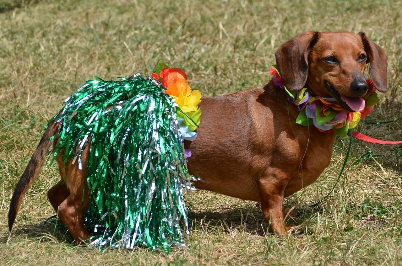 Hula Doxie One Of The Competitors At Our Ottawa Wienerpawlooza