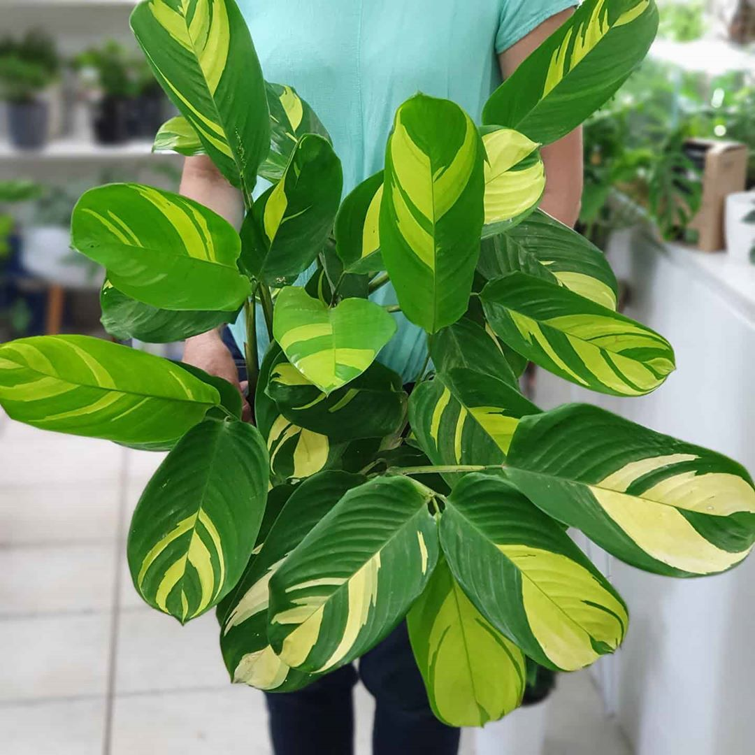 How magnificent are these ctenanthe lubbersiana 'golden ...