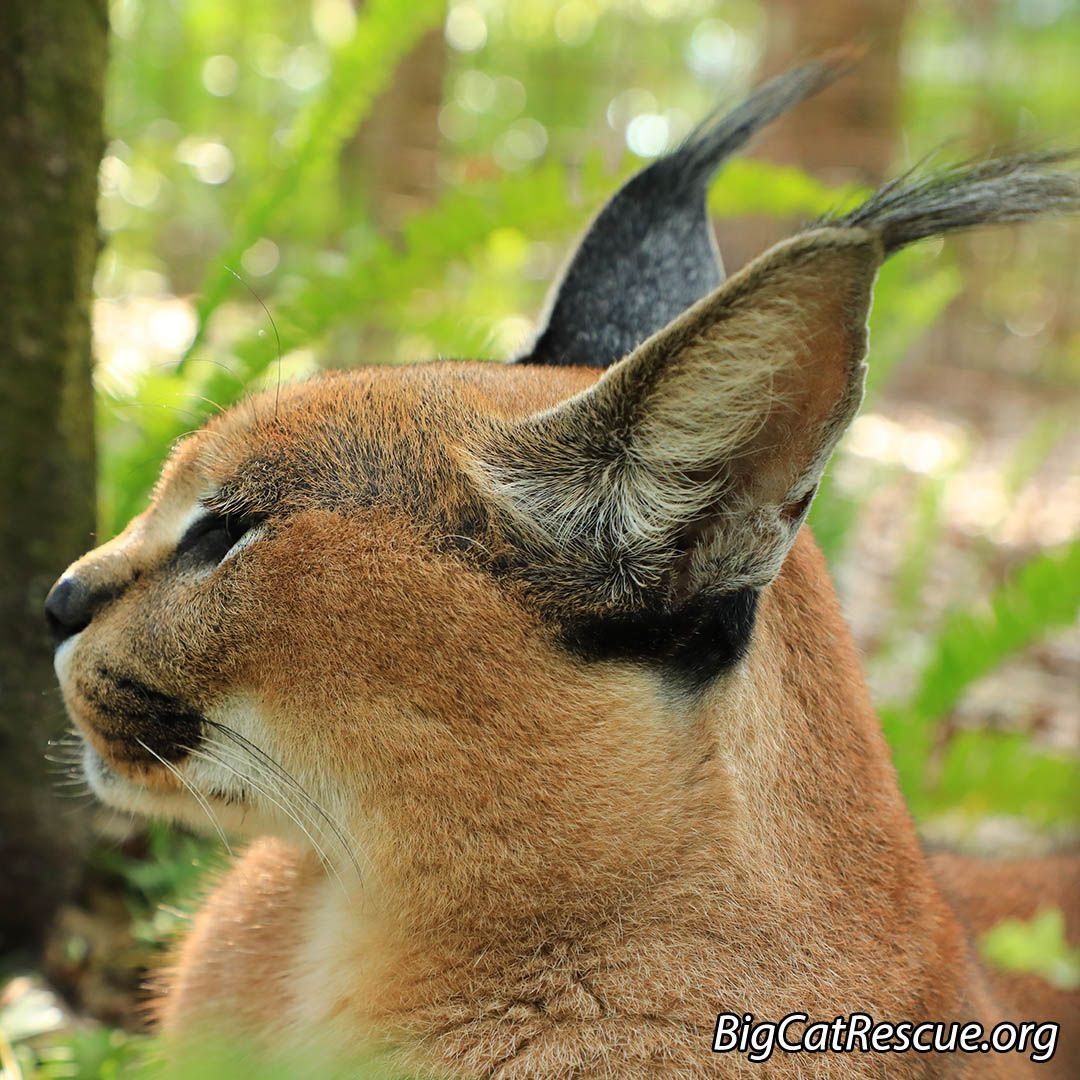 Cyrus Caracal has a handsome profile. Check out those