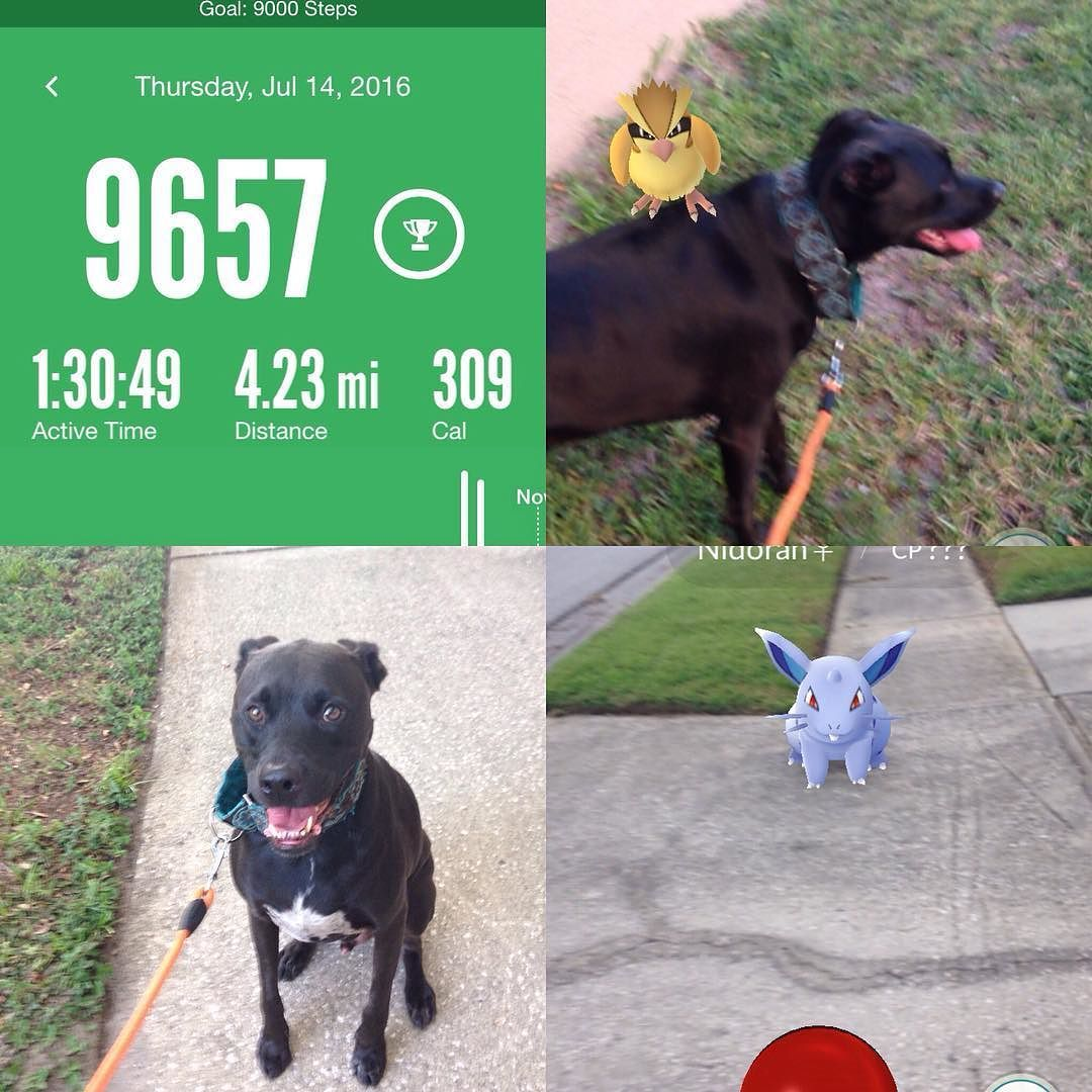 #9000steps 2 weeks strong for #strutyourmutt!! There were #pokemon riding sully AND he became a man #whataday #pokemongo #rescuedogs