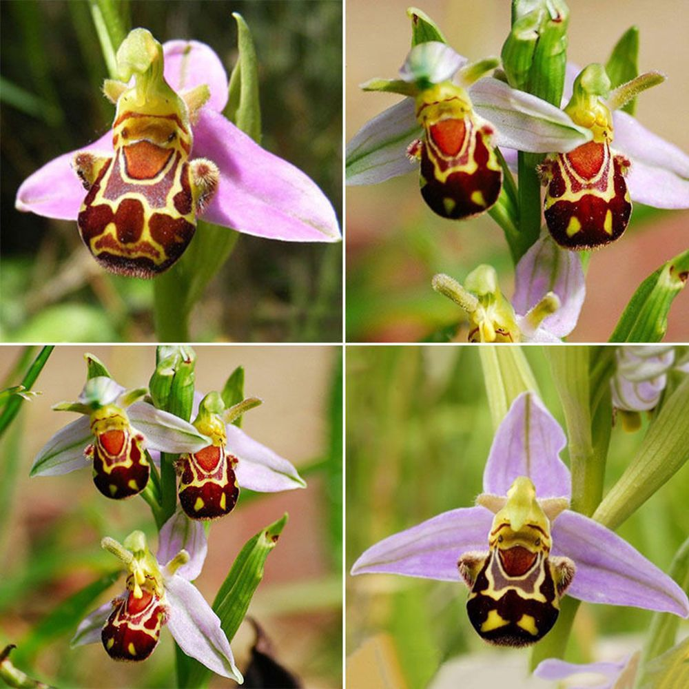 Hot selling easy to grow pcs rare seeds flower smile face bee