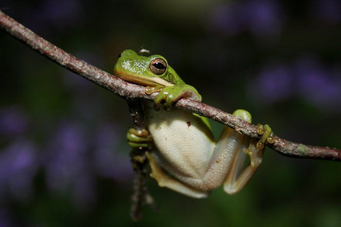 Hanging Around by Tammy DeBerry on Capture Arkansas // Green frogs are an everyday sight on the Grand Prairie in the summertime.