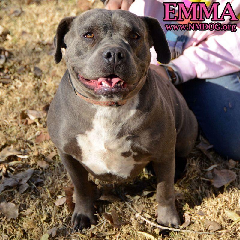 Adopt EMMA on Adoption, Pitbull terrier, Bull terrier dog