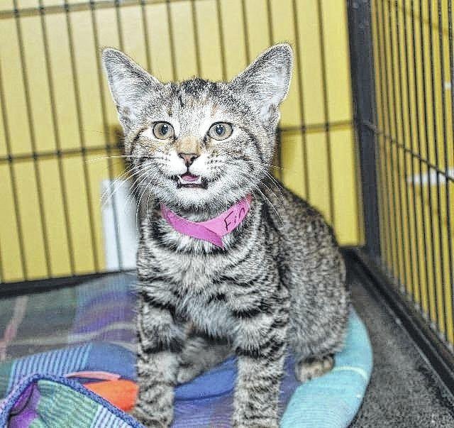 Record Herald Recordherald Com Cat Shelter Cats Adoption