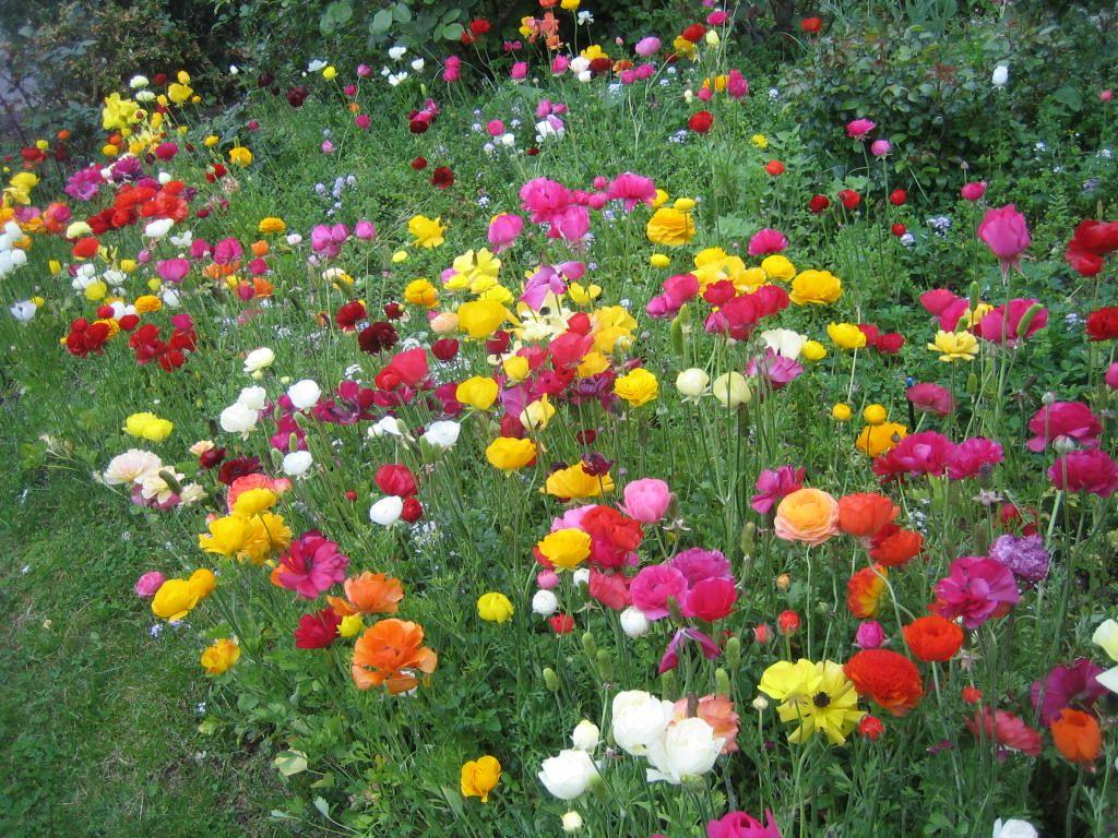 Ranunculus With Images Ranunculus Flowers Flower Garden Garden Photos