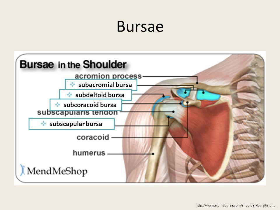 Image result for subscapular bursa   pectoral girdle   Pinterest ...