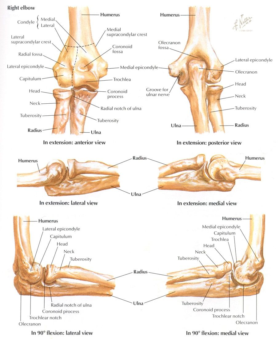 Elbow Anatomy Bones Index Of /mdtruth/pics/netter | Anatomy - Arms ...