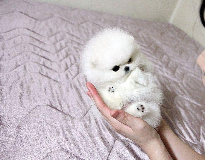 White Teacup Pomeranian! So cute!!   Puppies, Pomeranian ...