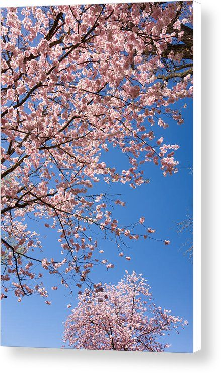 cherry blossom canvas print for sale pretty pink trees in full