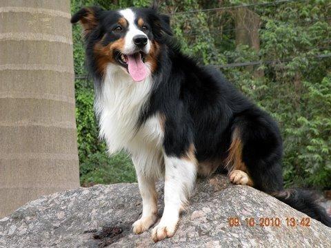 Border Collie Tricolor Buscar Con Google Puppy Paws Dog