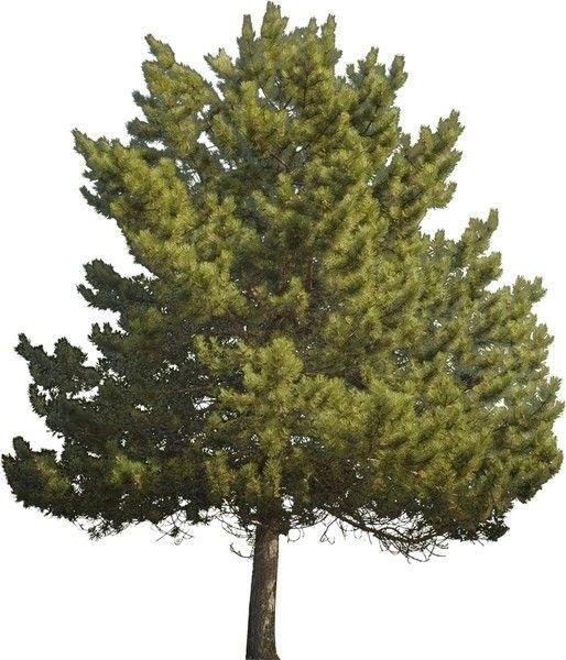 Photoshop Pine Tree Pesquisa Google Photoshop Pine Tree Tree