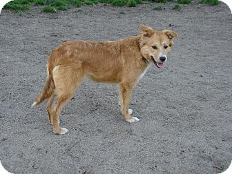 Nottoway Va Border Collie Golden Retriever Mix Meet Abby A Dog For Adoption Dog Adoption Kitten Adoption Pets
