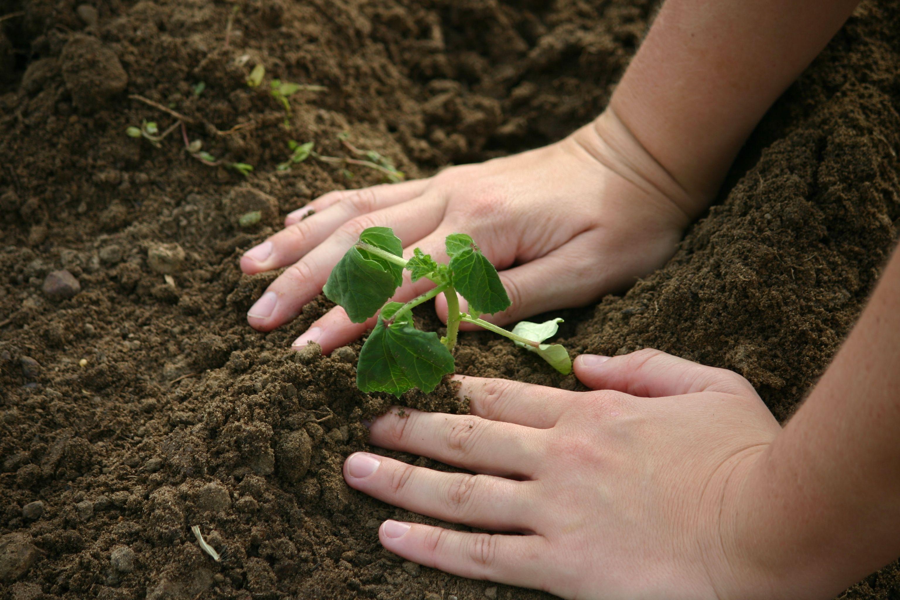 Planting okra transplants for our fall garden. #hosstools ...