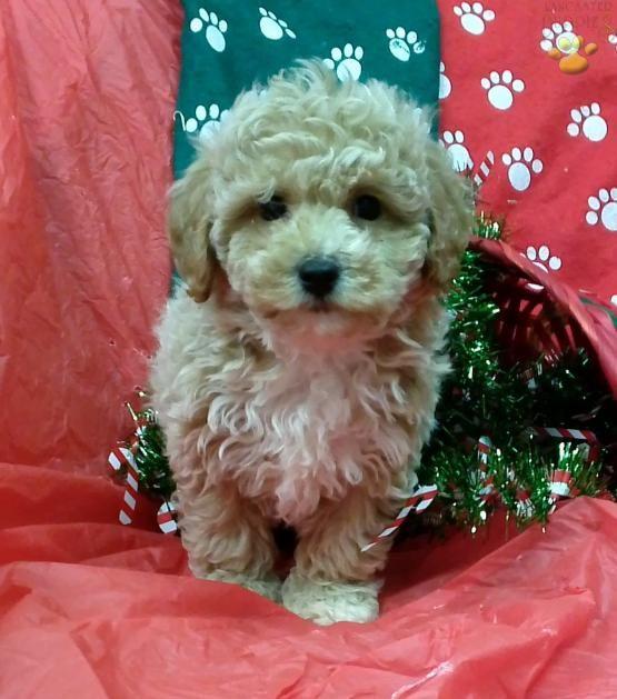 Alvin Mini Goldendoodle Puppy For Sale In Conowingo Md