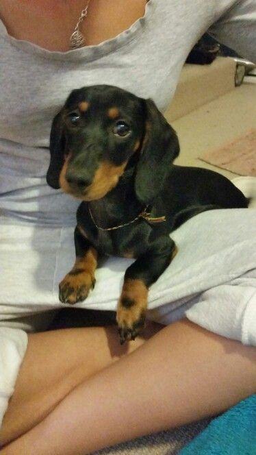 264ae1aa88a Rasta mini dachshund