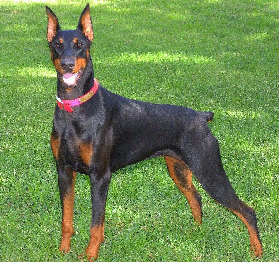 Black Doberman Female Named Bella Black Doberman