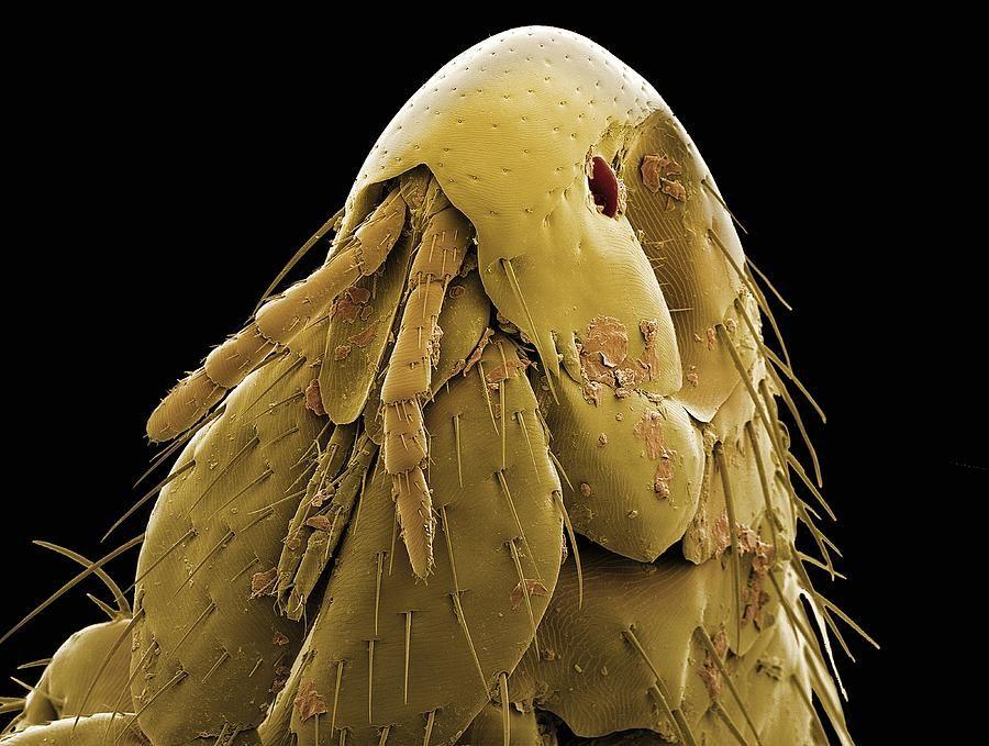 Cat Flea Head, Sem by Steve Gschmeissner Cat fleas, Dog