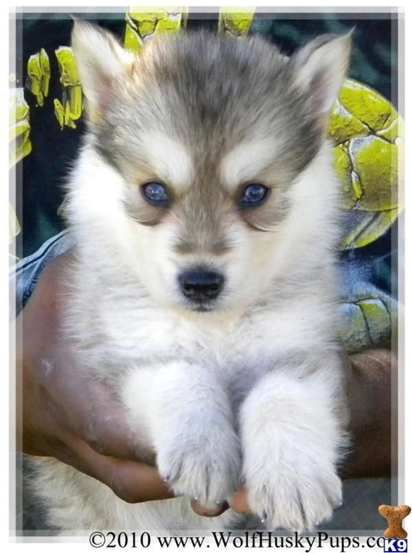 German Sheperd Siberian Husky Mix We Had A Litter Of This Breed