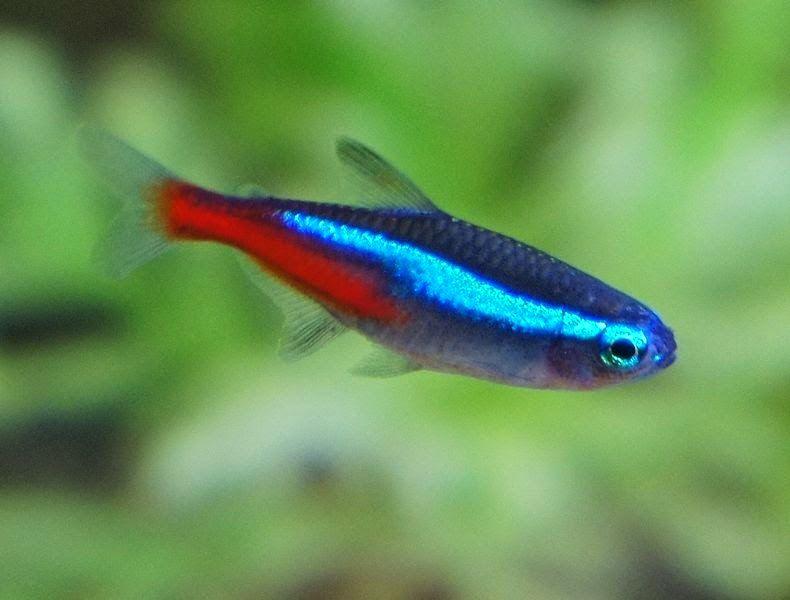 Freshwater Frenzy Types Of Neon Tetra Tetra Fish Neon Tetra Neon Tetra Fish