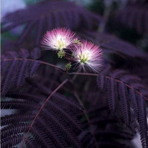 Black Mimosa Tree Seeds  20 countblackOrganic Black Mimosa Tree Seeds  20 countblack Wood avens also known as herb Bennet colewort and St Benedicts herb is a member of th...