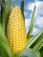 Maize - Bing Images