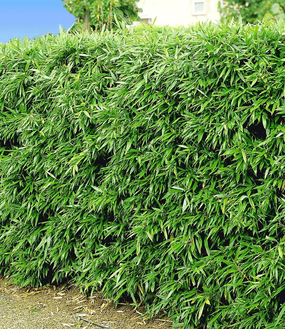 winterharte bambus-hecke … | pinterest, Garten Ideen