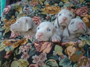 Registered Weimaraner Puppies Dogs And Puppies For Adoption Gumtree Johannesburg Gauteng Free Clas Weimaraner Puppies Cute Animal Pictures Puppy Adoption